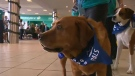 The Pet Access League Society helped out with WestJet's Christmas Miracle in Calgary this year.