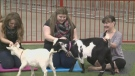 Agribition Goat Yoga