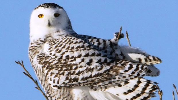 Snowy Owls beginning to make their way to Winnipeg. Photo by Dennis Swayze.