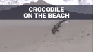 2-metre crocodile shows up on beach