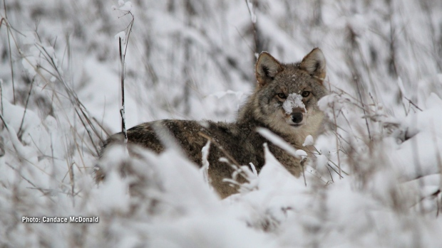 This handsome coyote was sniffing and pouncing though the fresh snowfall trying to scare up a snack at the Upper Canada Migratory Bird Sanctuary.  (Candace McDonald/CTV Viewer)