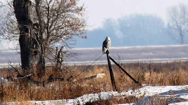 Snowy Owl spotted at Portage la Prairie. Photo by Jani Witoski.