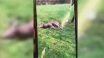A group of hunters say they're disgusted with a video posted to social media showing a deer writhing in pain after being shot and having its throat slit near Campbell River. (Facebook)