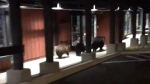 Extended: Three bears run from police