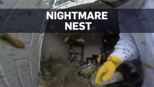 Exterminator takes on enormous hornet's nest