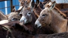 Donkeys are seen on a farm in Athens, La., Friday, March 16, 2012. (Gerald Herbert / THE ASSOCIATED PRESS)
