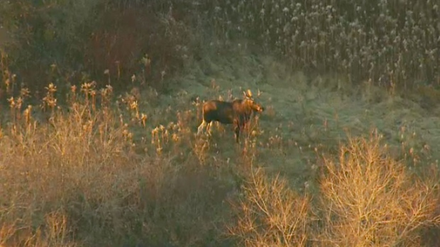 A moose wandered into a grassy area just south of the Buttonville Airport on Nov. 24, 2017.