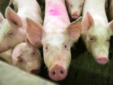 Pigs are seen at the Mober SENC farm in Saint Hughes, Que. south of Montreal Thursday, April 30, 2009. (Ryan Remiorz / THE CANADIAN PRESS)