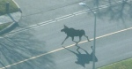 The moose was caught on camera by a CTV News Toronto helicopter on Friday morning.