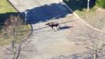 An aerial view of a moose wandering through the streets of Markham, Ont., Friday, Nov. 24, 2017.