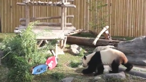 (Credit: Toronto Zoo / YouTube)