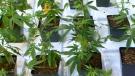 CTV Montreal: Cannabis facility