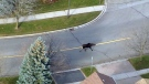 Moose on the loose in Markham