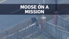 Moose on a mission in Markham
