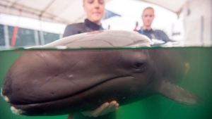 Vancouver Aquarium Marine Mammal Rescue Centre handle a rescued false killer whale in a handout photo released on Thursday July 24, 2014. (HO/THE CANADIAN PRESS)