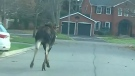 Moose on the move in Markham