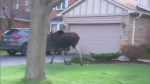 Moose makes morning mayhem in Markham