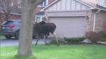 Moose makes morning mayhem in Markham