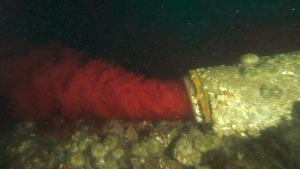 Bloody effluent from a fish processing plant spews from an underwater pipe in the Discovery Passage channel off Vancouver Island.