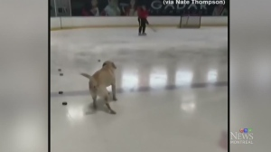 NHL teams may be scouting this dog, making online