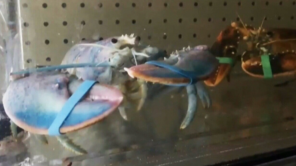 Lobsters with rare colouring have been saved from the dinner plate and have a home at a New Brunswick museum.