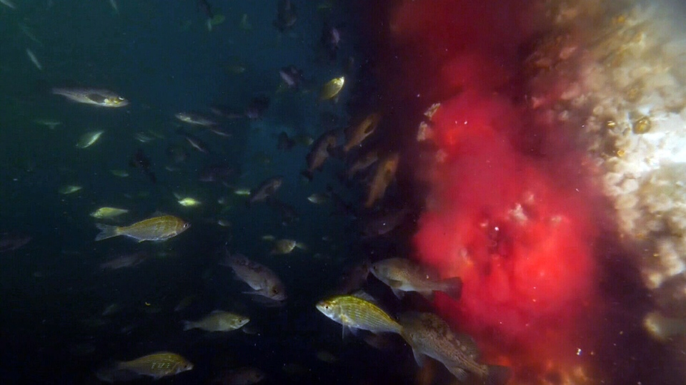 Blood is seen pouring into the Pacific Ocean from a pipe connected to a fish processing plant on Vancouver Island. Tests show that the blood contains a virus that is potentially harmful to wild salmon.