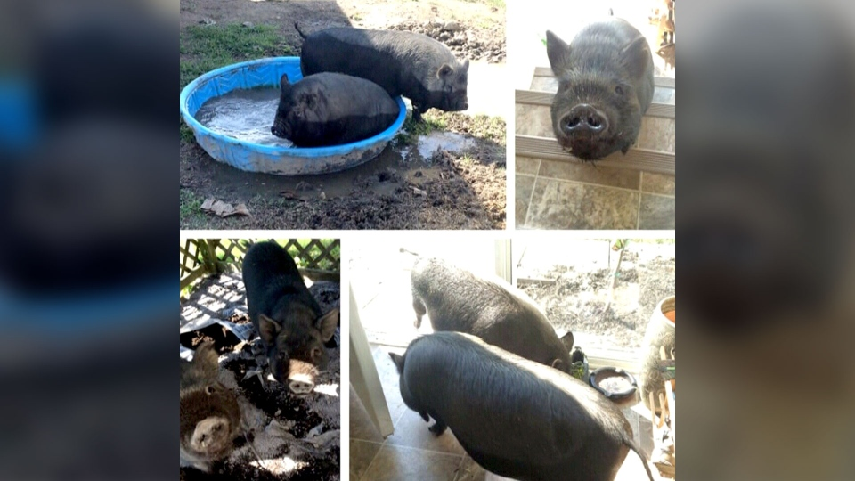 Matt Nooyen and Lianne Guilbeault's pigs, Pickles and Rosie, are shown in this file photo.
