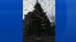 The Tree for Boston is seen on Wednesday, Nov. 29, 2017 ahead of the annual lighting ceremony on Thursday. (CTV News at 5)