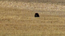 'Russell the bear' - west of Calgary