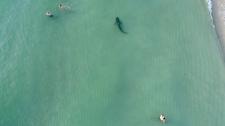 A shark swims near South Beach