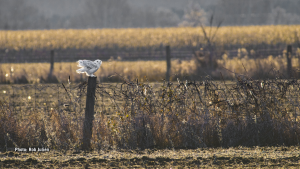 The arrival of snowy owls are in full swing.This was a late afternoon shot in south Ottawa. (Rob Julien/CTV Viewer)