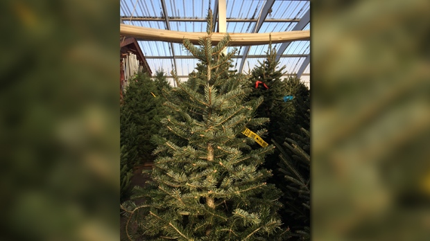 The group representing Canadian Christmas tree growers said in some cases the cost of growing Christmas trees has gone up in the past year. (Josh Crabb/CTV News)