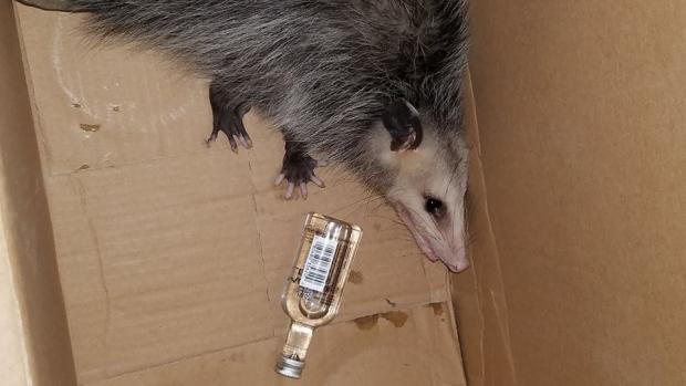 Drunk opossum in Florida