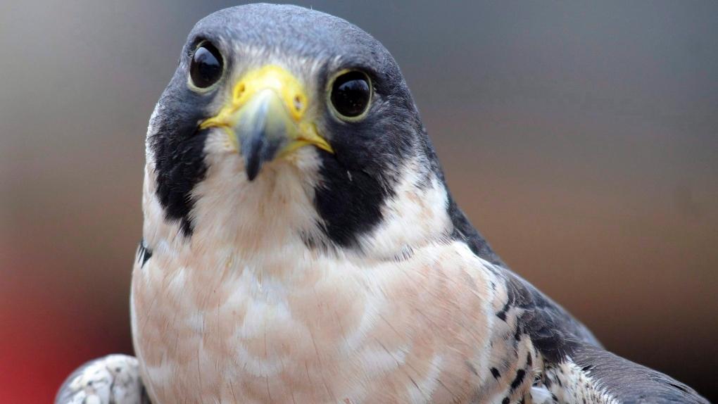 A Peregrine Falcon
