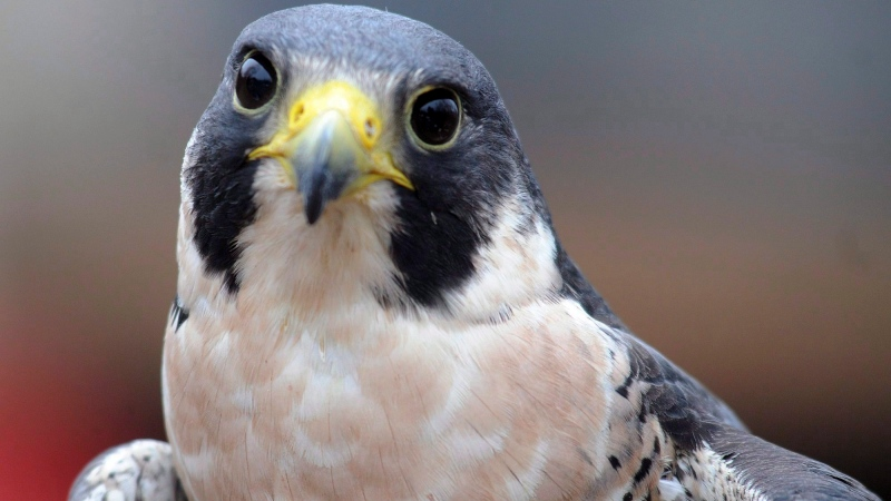 Outside of nesting season, peregrine falcons are known to travel widely – their name, in fact, comes from the Latin word 'peregrinus,' meaning 'wanderer.' (THE CANADIAN PRESS/AP Photo/Daily Hampshire Gazette, Carol Lollis)