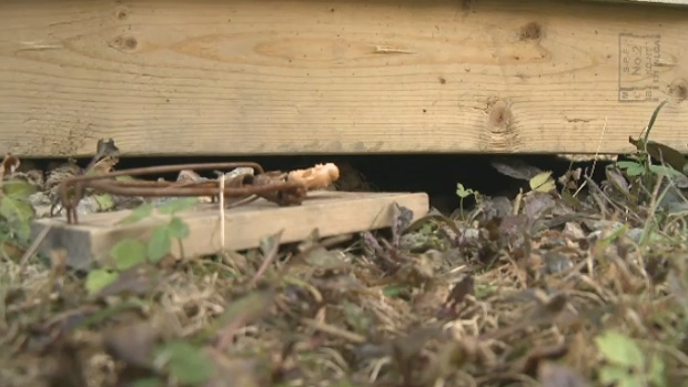 Residents in Sydney are calling on something to be done about the increasing problem with rats.