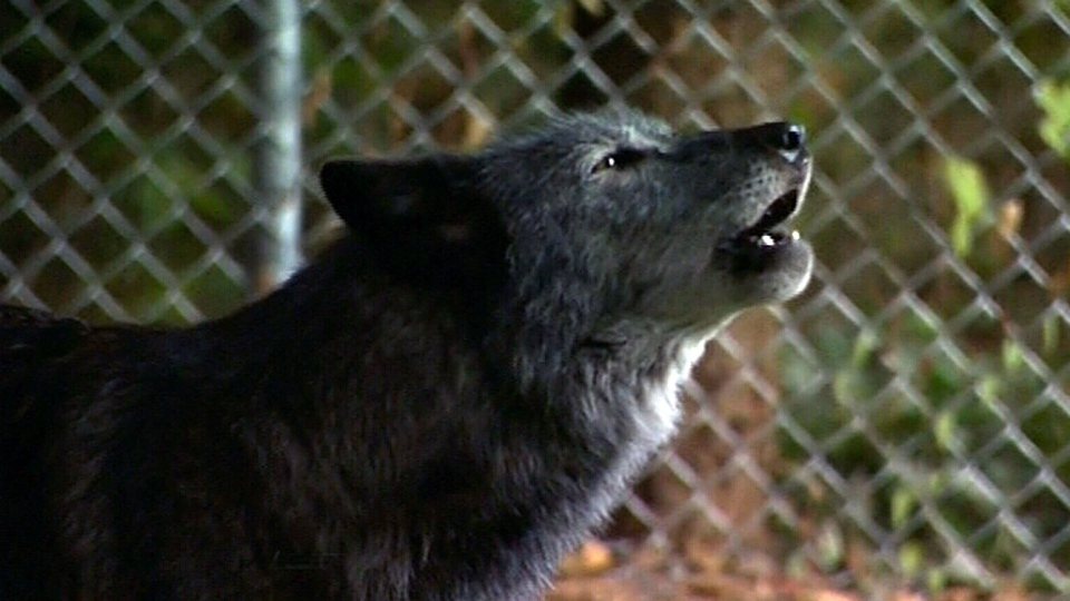 A B.C. lighthouse operator had a cautionary tale following a wolf encounter. (CTV Vancouver Island)