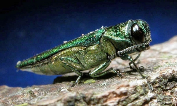 An undated file photo provided by the Minnesota Department of Natural Resources, shows an adult emerald ash borer. (AP Photo/Minnesota Department of Natural Resources, File)