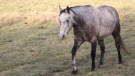 One of six horses that were stolen from a farm in the Winfield, Alberta area on December 6, 2017.