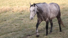 One of the six horses that were stolen from a farm in the Winfield, Alberta area on December 6, 2017. Supplied.