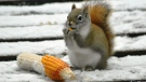 One corny squirrel. Photo by Jeannette Greaves.