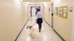 Dorado, the first accredited facility dog in Atlantic Canada, walks down a hallway in the IWK hospital with his handler Kathy Bourgeois in Halifax on Dec. 8, 2017. THE CANADIAN PRESS/Darren Calabrese