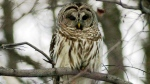 This Feb. 16, 2002 file photo shows a barred owl. (AP Photo/Toby Talbot)