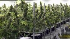 Local company gets marijuana deal