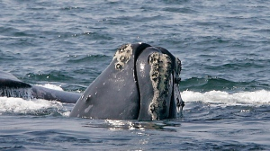 In this April 10, 2008 file photo, a North Atlantic right whale breaks the ocean surface off Provincetown, Mass., in Cape Cod Bay. (AP Photo/Stephan Savoia)