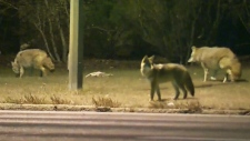 CTV Atlantic: Sydney man fights off coyotes