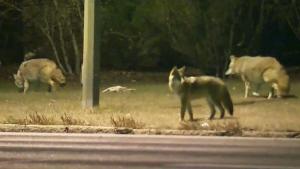 CTV Atlantic: Sydney man fights off coyotes