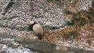 Caught on cam: Panda tumbles down snowy hill