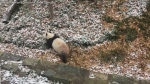 Caught on cam: Panda tumbles down snowy hill