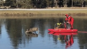 Deer stranded on ice in Oregon saved
